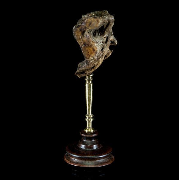 Antique human sacrum on bespoke mount from a lot of human skeleton bones Human Bone Decorus Macabre - Decorus Macabre