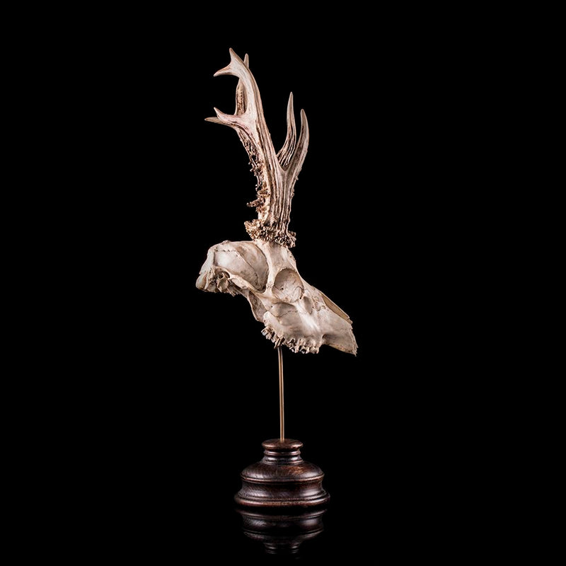 Roe deer skull mounted on a custom base taxidermy Decorus Macabre - Decorus Macabre