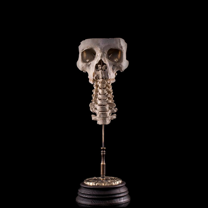 Authentic human skull and partial spine bones Human Bone Decorus Macabre - Decorus Macabre