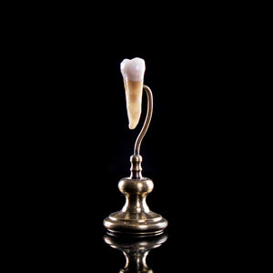 Human tooth on custom brass base