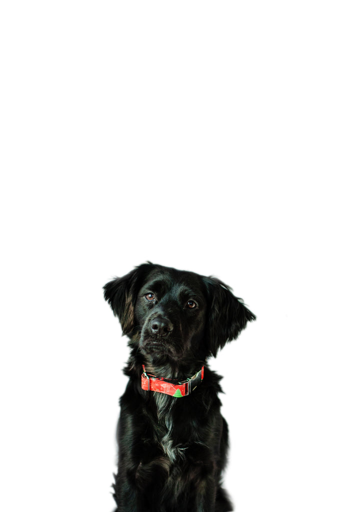 Retriever / Spaniel Mix Dog Wearing Sustainable Waxed Canvas Hemp Collar in Cabins & EvergreensPattern