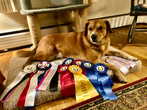 Arthur and his many ribbons from Nosework competitions
