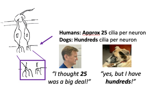 number of cilia per neuron in dogs and people