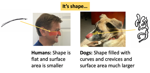 olfactory epithelium is flat in humans and filled with curves and crevices in dogs