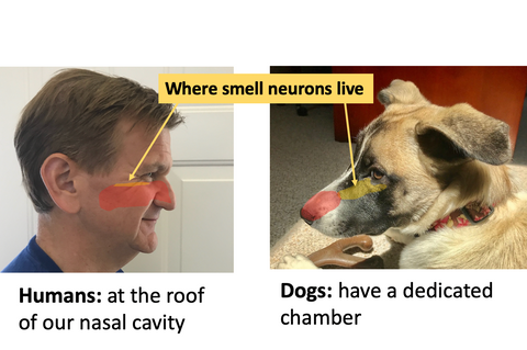 where olfactory neurons live in both humans and dogs