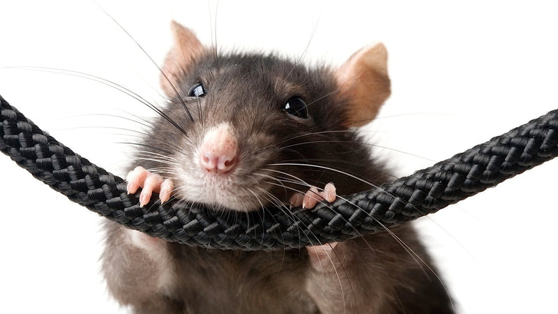 How to prevent house fires caused by rats