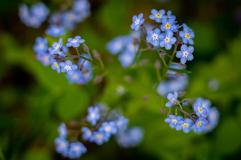 Forget Me Not Flowers at Pressed Wishes Woodland Garden - Photography by Martin Hippmann