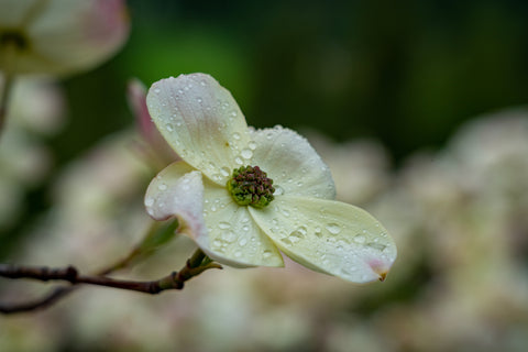 Dogwood Flower Bloom photographed by Martin Hippmann
