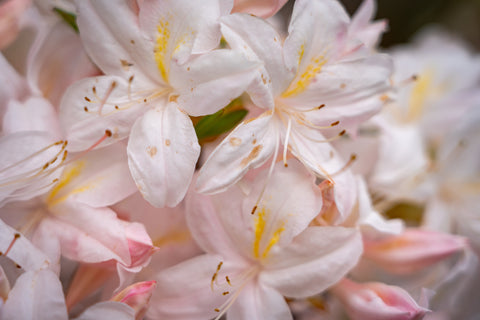 Pink and White Magnolia Blooms - Pressed Wishes Woodland Gardens - Photography by Martin Hippmann, Nature Photographer