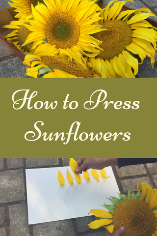 How to press sunflowers - A step by step guide with photos by Pressed Wishes