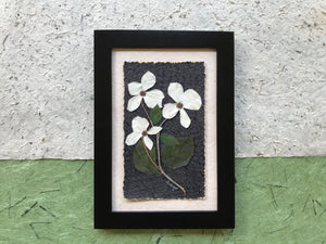 Real Pressed Dogwood Flower - BC Provincial Flower - Available in Black or Walnut Frame