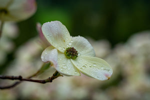 Dogwood Flower on Dogwood Tree in BC, Canada - Mabel Lake