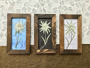 Collection of Real Pressed Edelweiss Framed Picture by Pressed Wishes, Canadian Artist