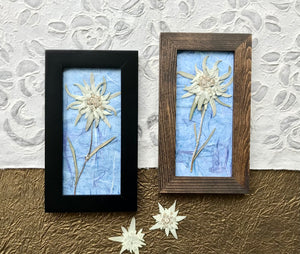 Real Pressed Edelweiss Botanical Picture on Blue Handmade Paper