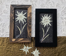 Real Pressed Edelweiss Framed Picture by Pressed Wishes, Canadian Artist
