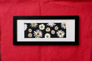 black and white real pressed daisy picture