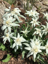 Edelweiss Flowers in Rock Gardens in Canadian Okanagan