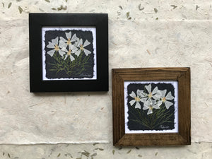 pressed musk mallow framed artwork; Dried Flowers