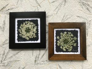Dried Flowers; Pressed Queen Anne's Lace framed artwork; part of the black and white floral collection