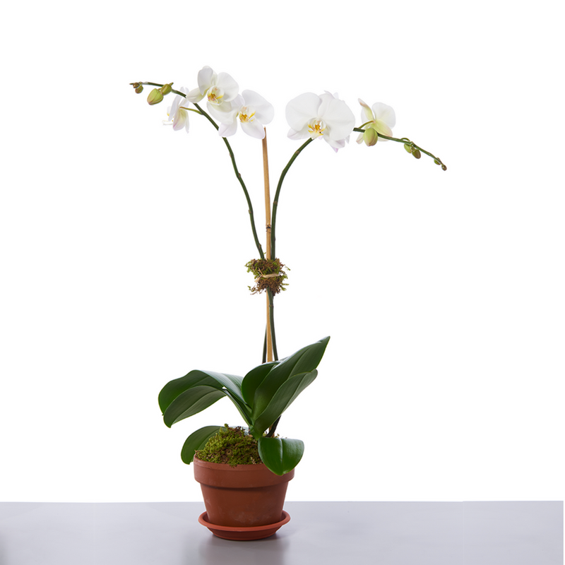 Two Stem Orchid Plant