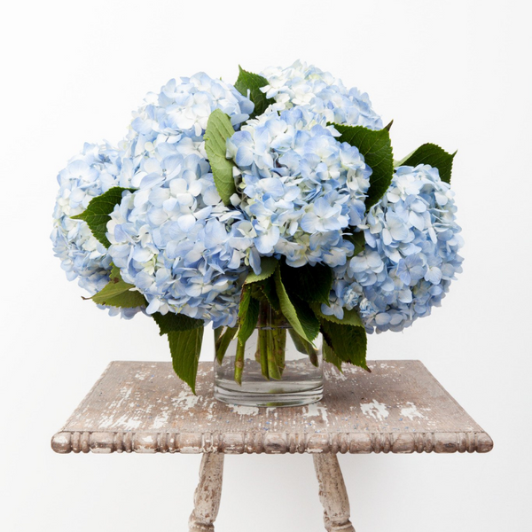 South American Hydrangea - Pale Blue