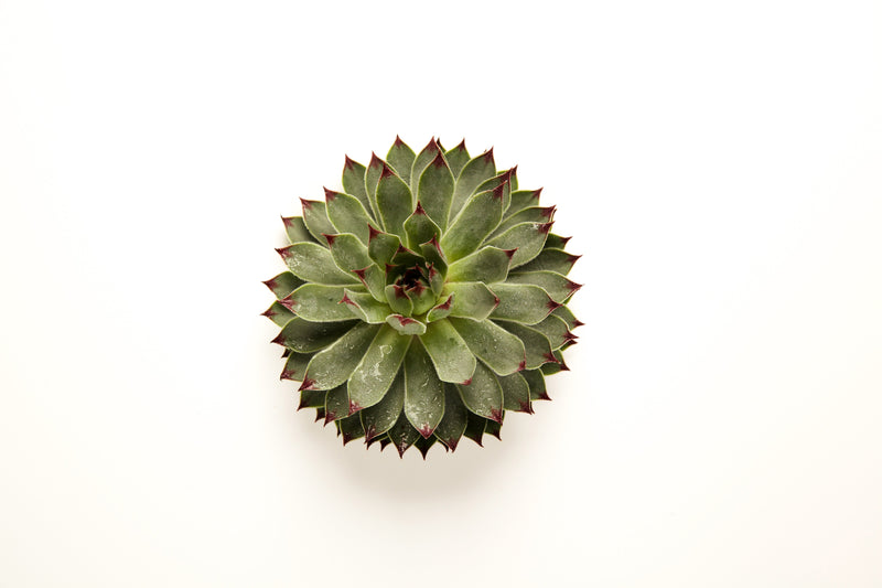 Succulents  Auto renew