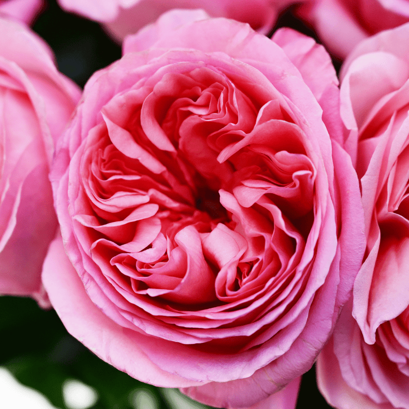 Expression Garden Roses