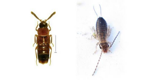 rove bug and earwig side by side