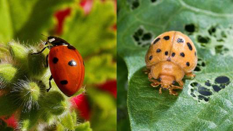 ladybug and mexican beetle side by side on a leaf