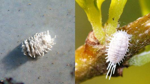 mealy bug and mealybug destroyer side by side