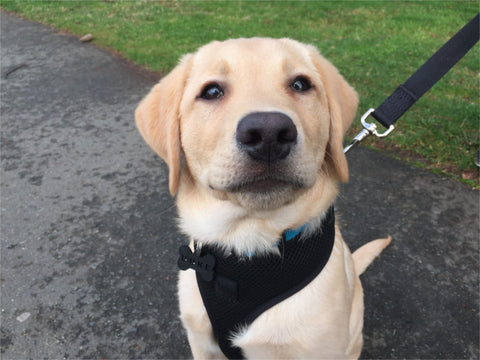 Duke the Yellow Lab happily on leash