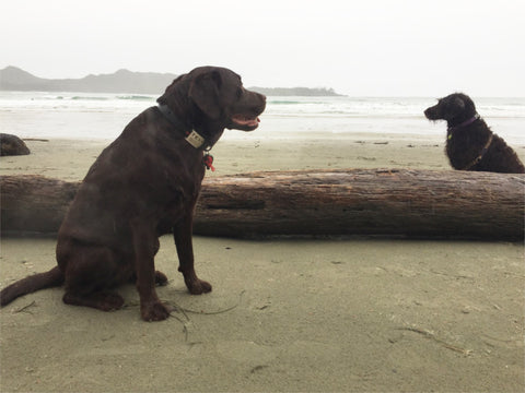 Lab and labradoodle off leash at the beach