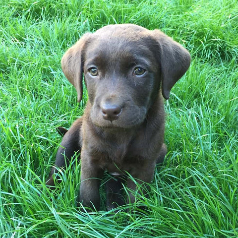 Teva Chocolate Lab Puppy