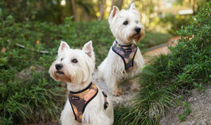 6 Facts about West Highland Terriers