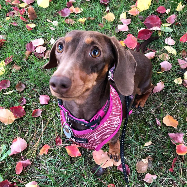 8 Facts about Dachshunds