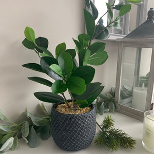 Rubber plant in ceramic pot