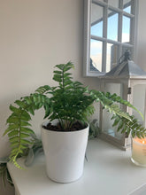 Potted Ostrich Fern
