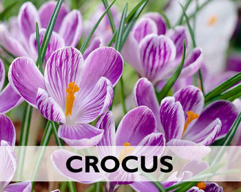 All Crocus