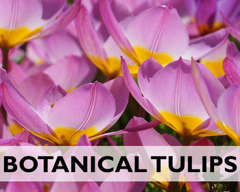 Botanical Tulips