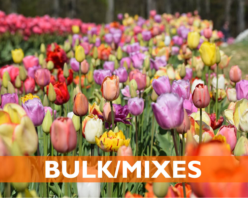 Flower Bulbs Sub Homepage Wicked Tulips Flower Farm