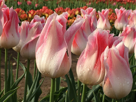 Holland Chic Tulip - 25 per bag