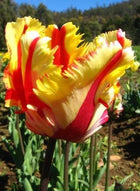 Flaming Parrot Tulip - 25 per bag
