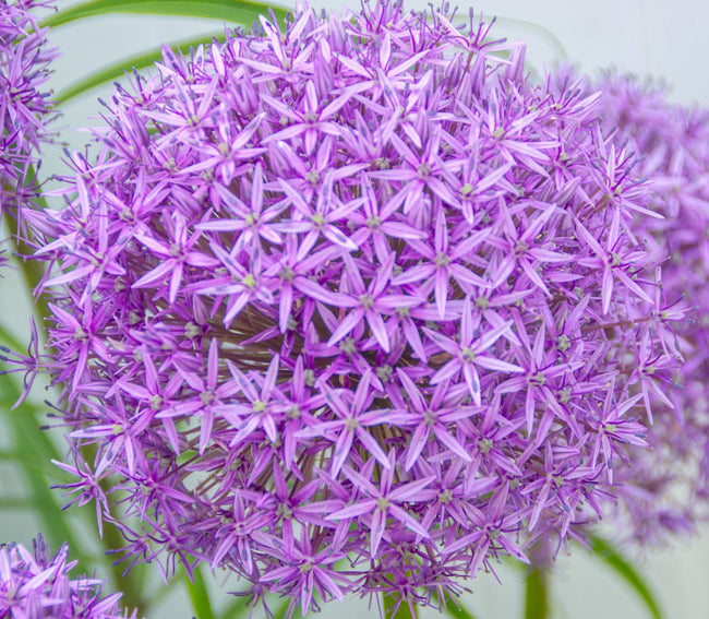 Gladiator Allium - 5 per bag