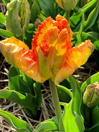 Parrot King Tulip - 25 per bag