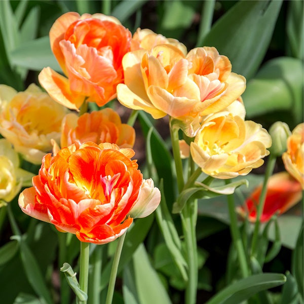 Zantucharme Tulip - 25 per bag