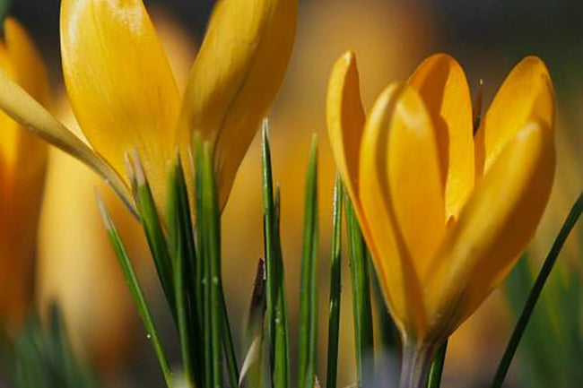 Crocus - Yellow Crocus - 10 Per Bag