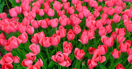 Pink Impression Tulip - 25 per bag