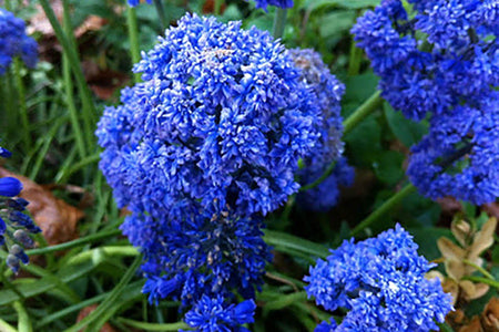 Muscari - Muscari Fantasy Creation  - 10 Per Bag