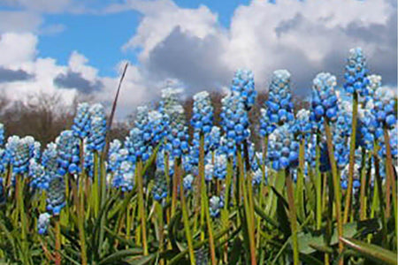 Muscari - Muscari Lady Blue  - 10 Per Bag