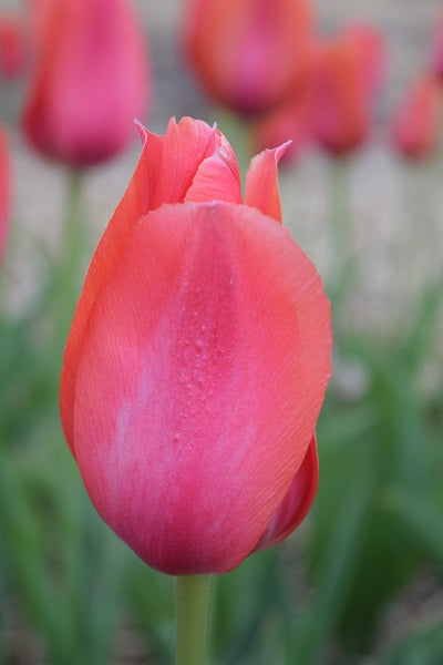 Temple of Beauty Tulip - 25 per bag